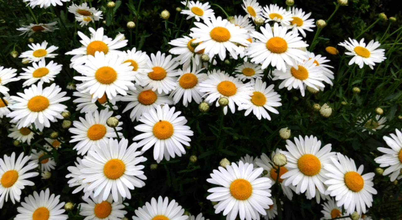 デイジーとも呼ばれる「ヒナギク」の花言葉は?