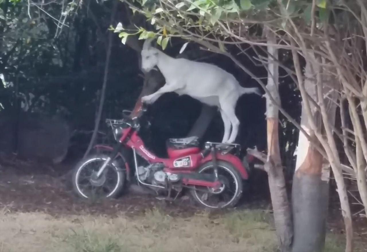 えっ本気かよ!?バイクに乗ろうとするヤギが話題に!エンジンをかけようとすると・・・