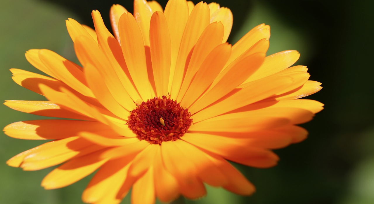 黄色い花の「キンセイカ」、その花言葉には2つの神話が!
