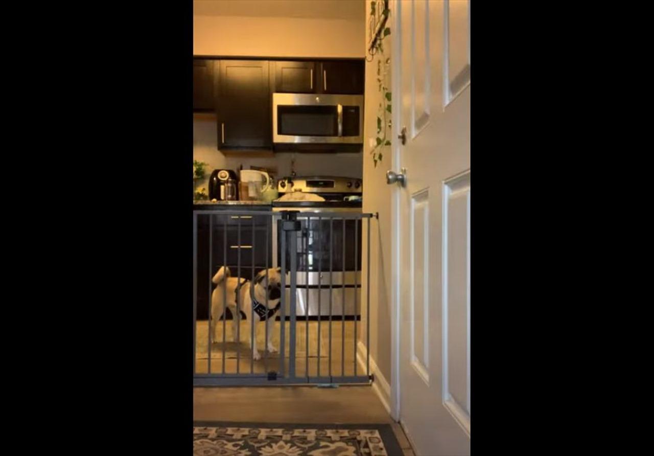 愛犬がどうやって門を乗り越えていたのかを知るため、カメラを設置すると・・・驚愕の技を見せた!