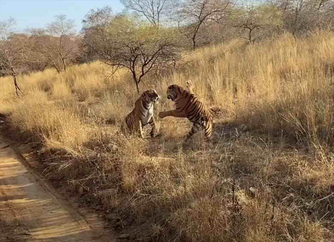 【ド迫力映像】至近距離で始まったトラの格闘が凄まじすぎる!轟音を立てながら強烈な一撃を食らわす