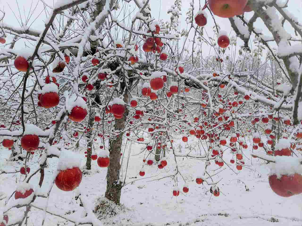 クリスマスの飾りかと思ったらリンゴだった(笑) 寒そうだけど可愛いリンゴたちが話題に!