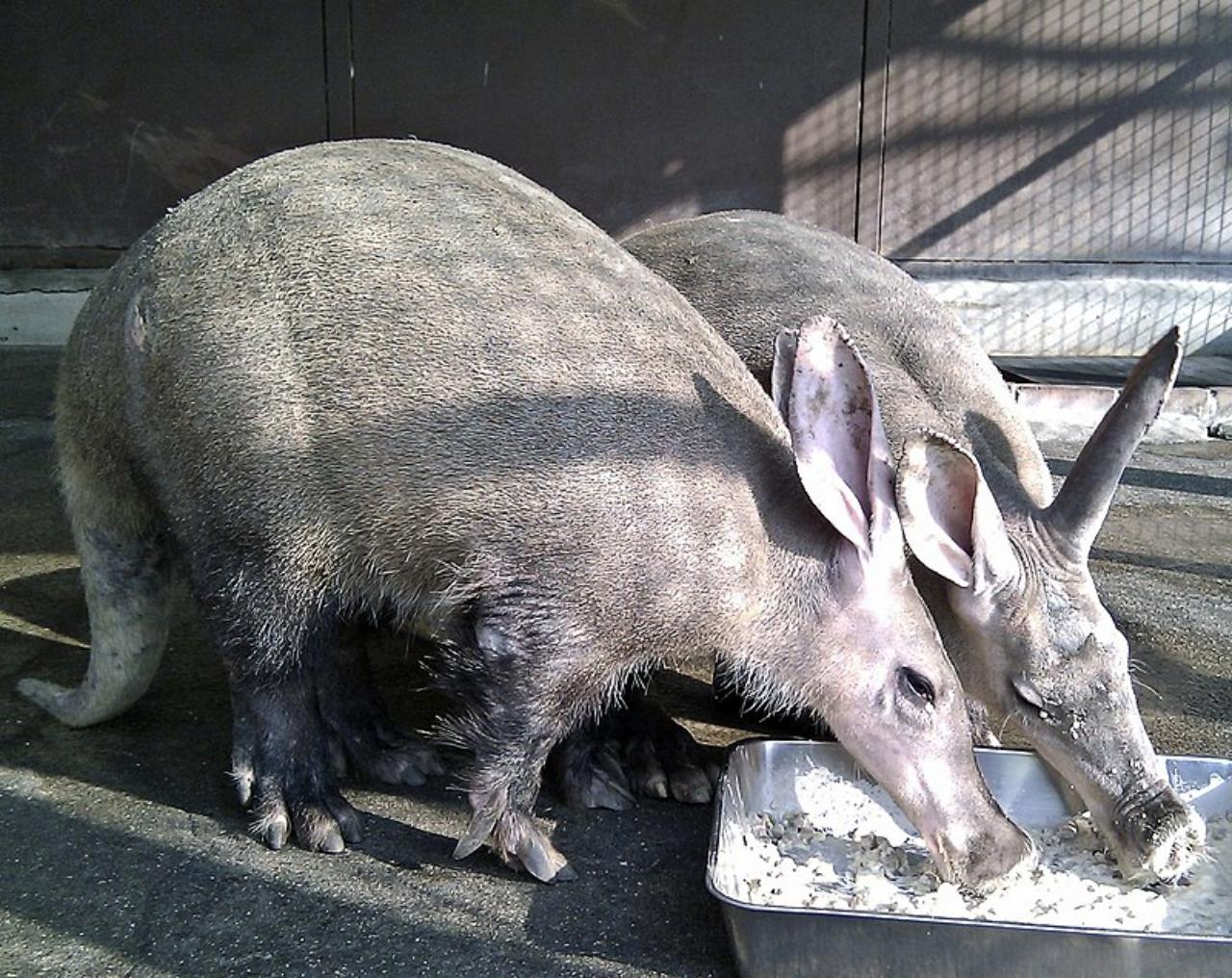 【ツチブタ】かつてはアリクイの仲間と考えられていた、名前にブタと名前の入っているややこしい動物