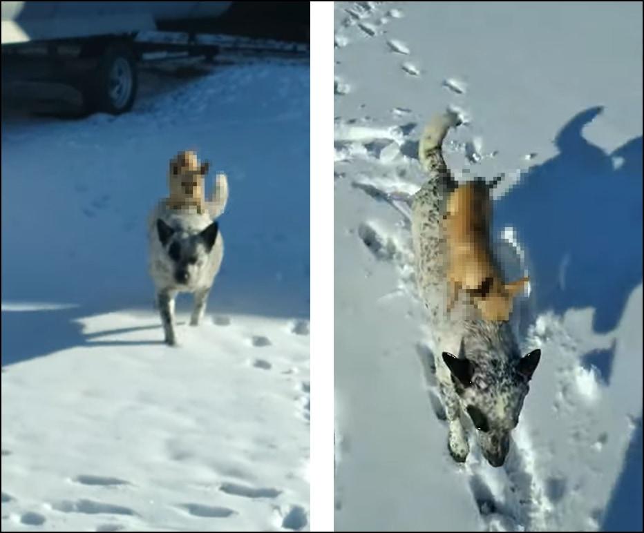 雪の上は歩きたくないワン!他の犬におんぶされて外を散歩するチワワが可愛い