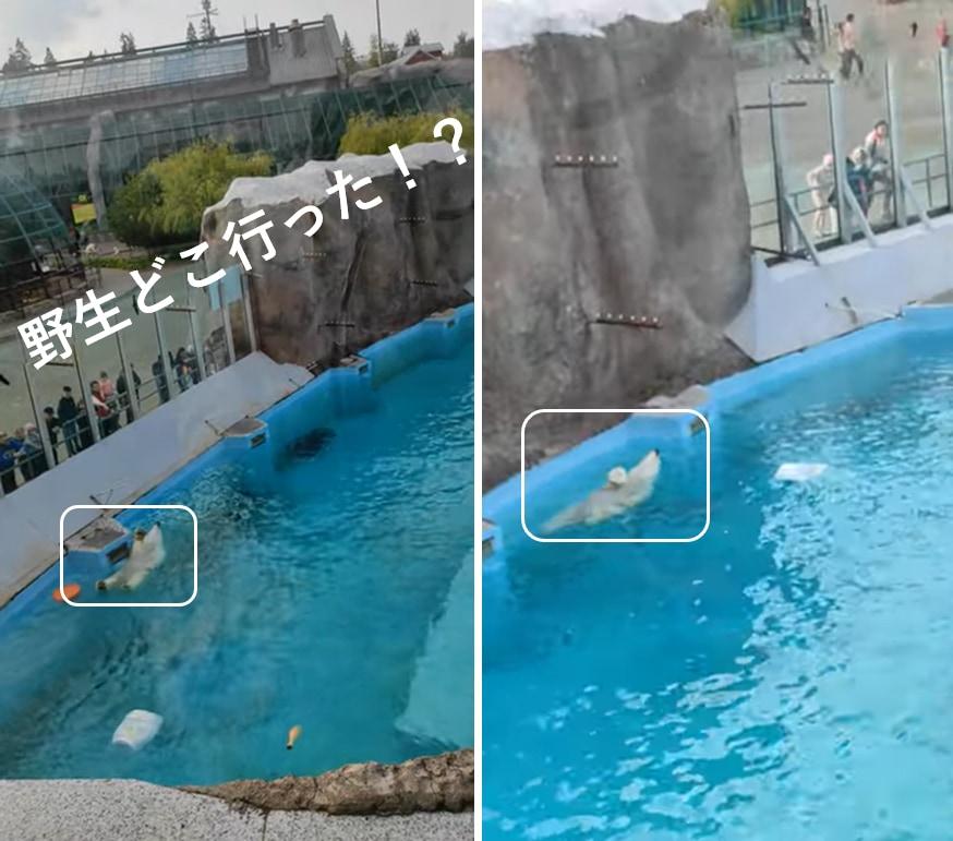 完全に野生を失ってる...リラックスして泳ぐ動物園のシロクマが可愛い!