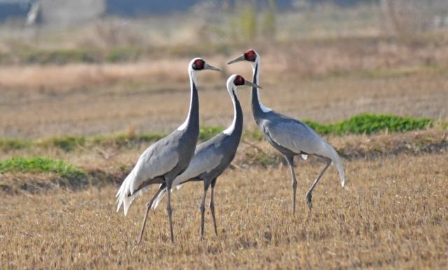 「鶴は千年」と言いますが、実際寿命は長いのか?鳥の中にはもっと長寿な種が!