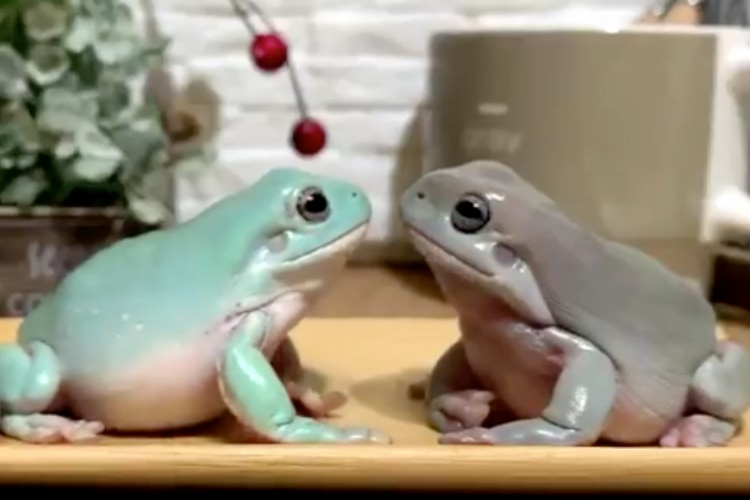 見つめ合う仲良さそうなカエル、なぜ今叩いたんだ!?漫才師のような突然のツッコミに困惑(笑)