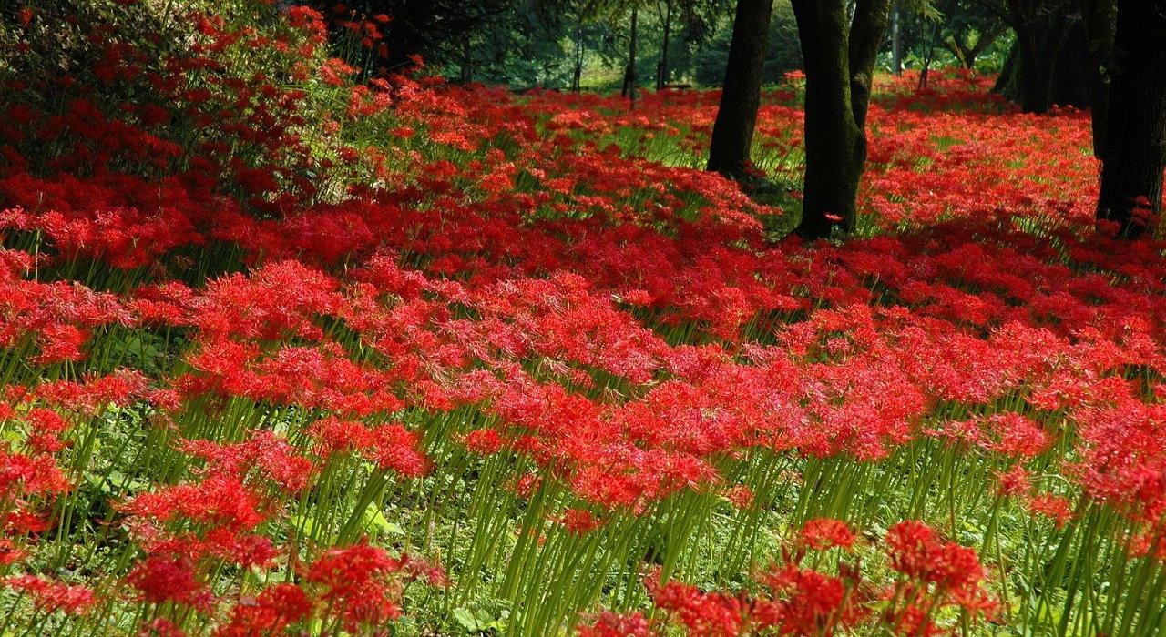 彼岸花は怖い花?墓所周辺でよく見かける理由や花言葉を解説!