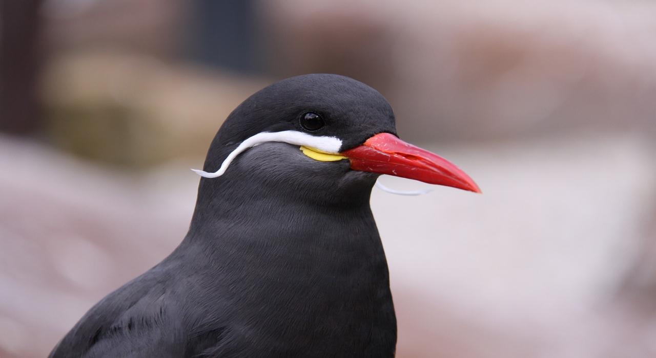 「インカアジサシ」、真っ赤なクチバシに白いカイゼル髭がチョー目立つ鳥