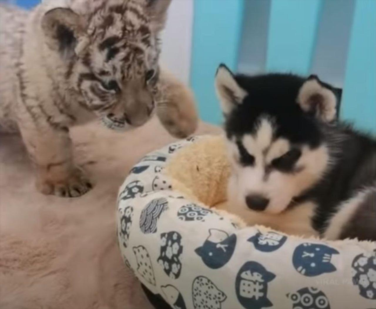【異種の友情】ハスキーの子犬とトラの赤ちゃんがモフモフ戯れる様子が可愛すぎる!