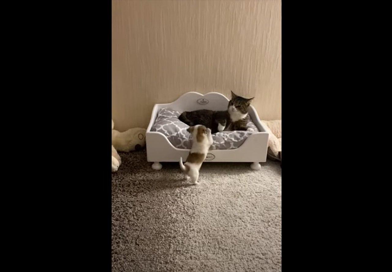 ベッドを占拠して子犬を威嚇するニャンコ。子犬に勝ち目はないと思いきや・・・