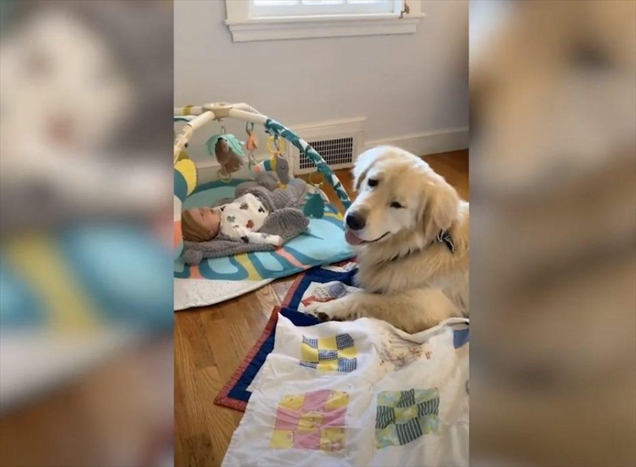 まるで自分の弟のように可愛がる・・・片時も赤ちゃんのそばを離れないゴールデンレトリバーが話題に!