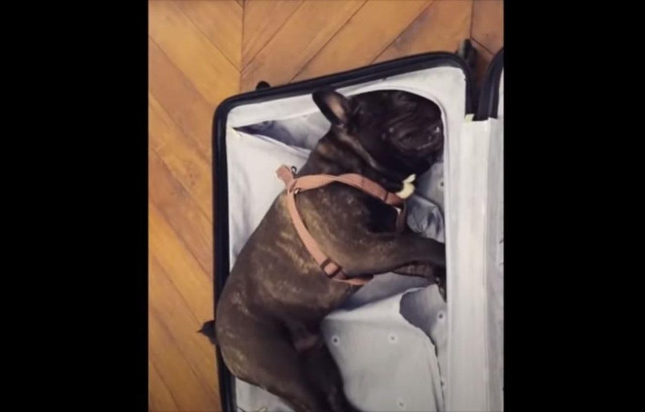 飼い主がどこかへ出かけると悟ったか?荷造りを必死に阻むワンコが可愛い(笑)