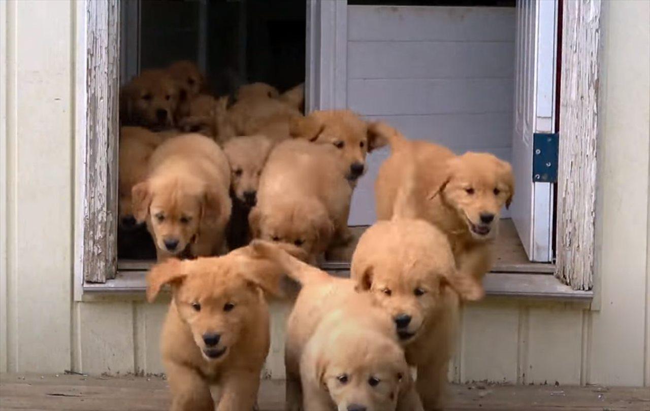 イイイィヤッホーイ!はしゃぎまくるゴールデンレトリバーの子犬たちが可愛すぎる!