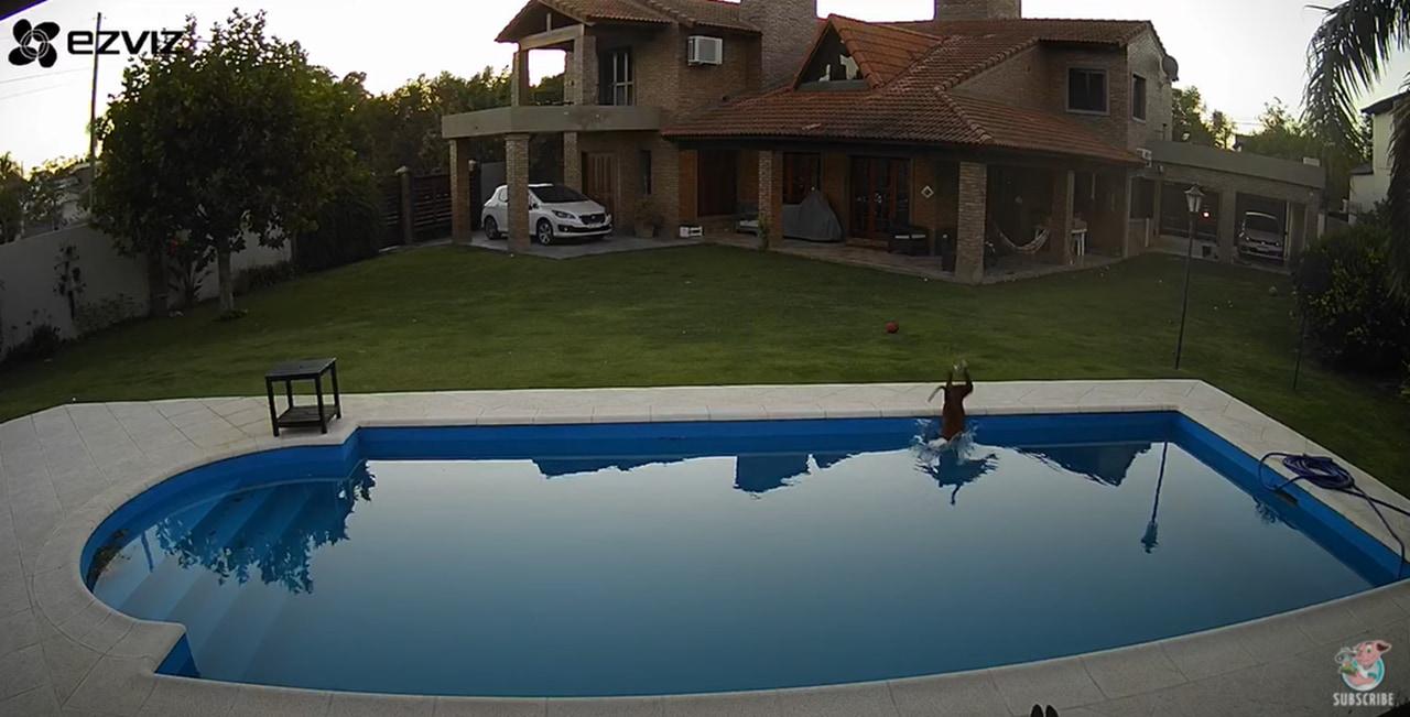 盲目の犬がプールに転落!相棒のワンコの懸命の救助活動が凄い!
