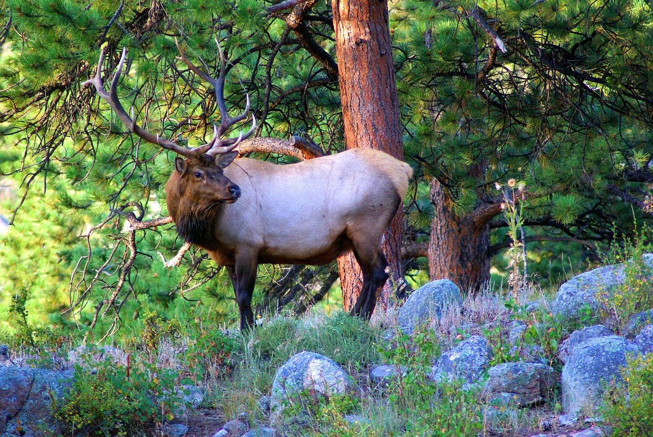 「ワピチ」は世界で2番目に大きなアメリカなどに生息する鹿