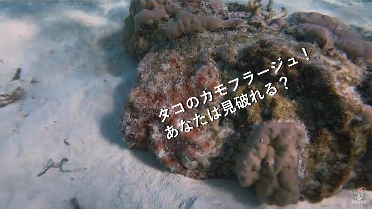 あなたは見つけられた?岩に変身するタコのカモフラージュ力が凄い