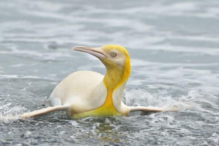 12万羽の中に1羽だけ!写真家が捉えた超レアな黄色いペンギンが世界中で話題に