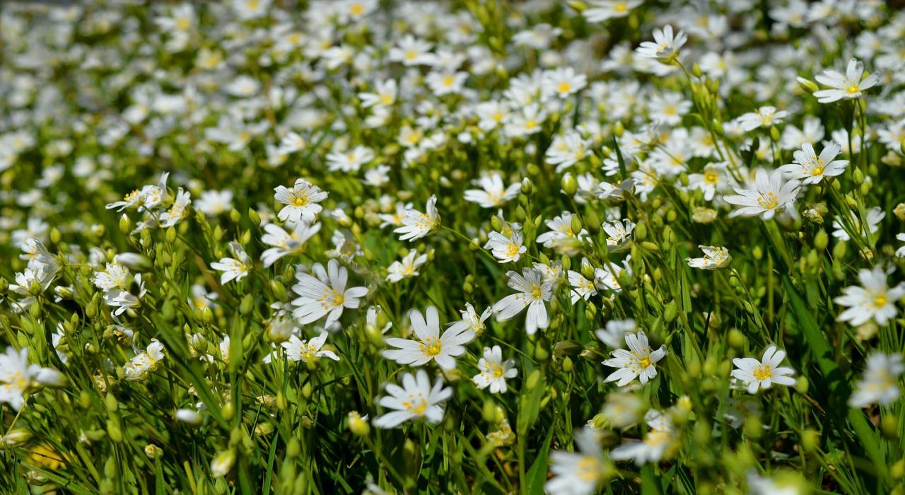 春の七草にもかぞえられる「ハコベ」とはどんな花?食べられるの?花言葉はあるの?