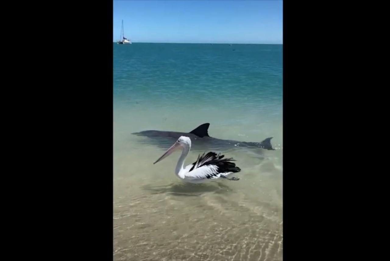 イルカとペリカンが一緒に泳ぐ平和な光景・・・と思いきや、実は違った!?