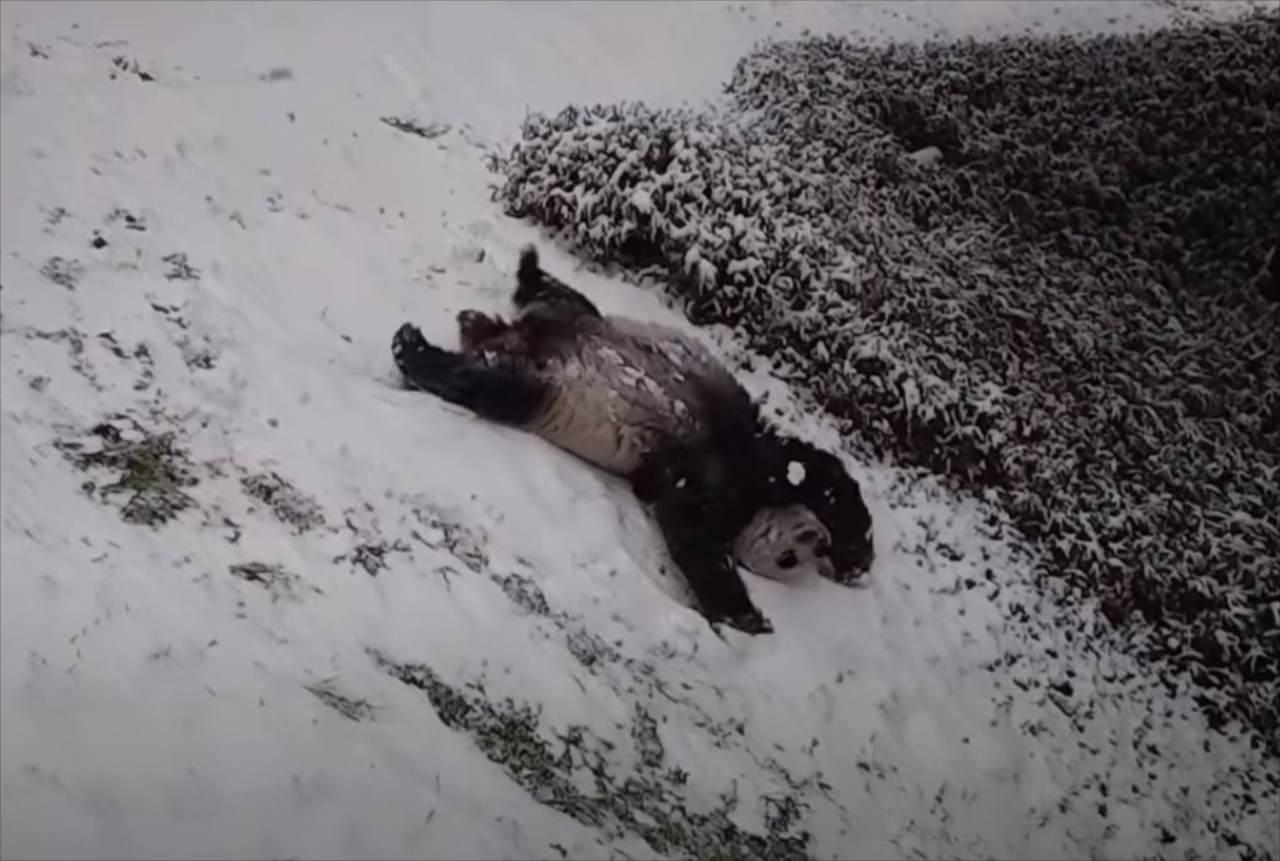 なんか子供の頃を思い出した(笑) 斜面を滑ったり側転したり・・・大雪が降ってパンダが大はしゃぎ!