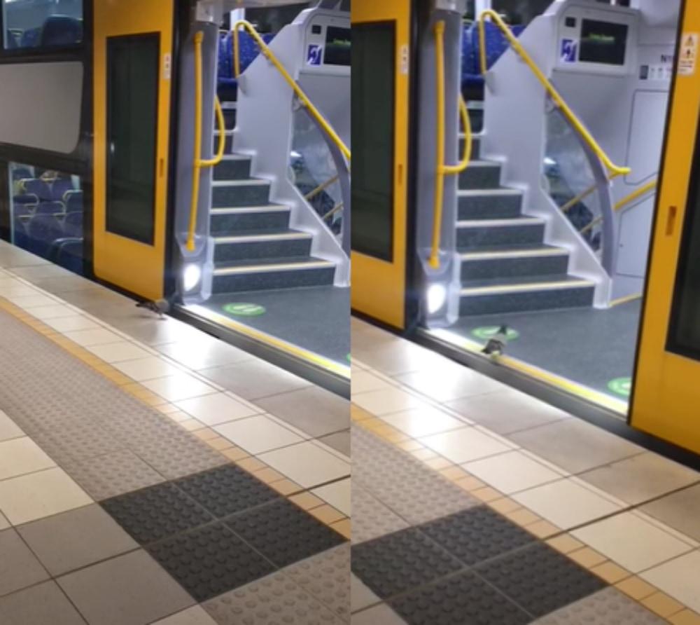 「ハトさんどこいくの?」シドニーで当たり前のように電車に乗るハトが面白い!
