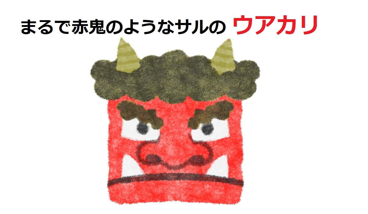 まるで赤鬼?!真っ赤な顔をしたサル「ウアカリ」とは!