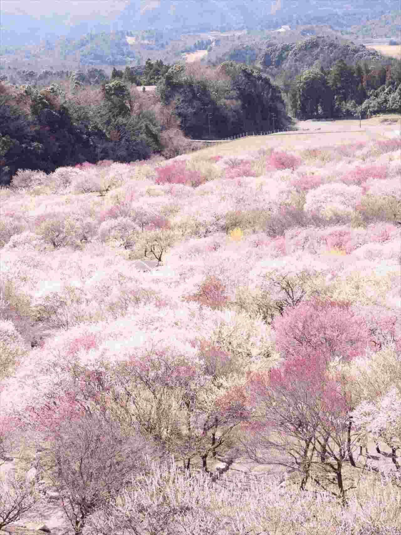 """この世にこんな場所があるなんて・・・咲き誇る梅の花がまるで""""絨毯""""のような絶景が話題に!"""