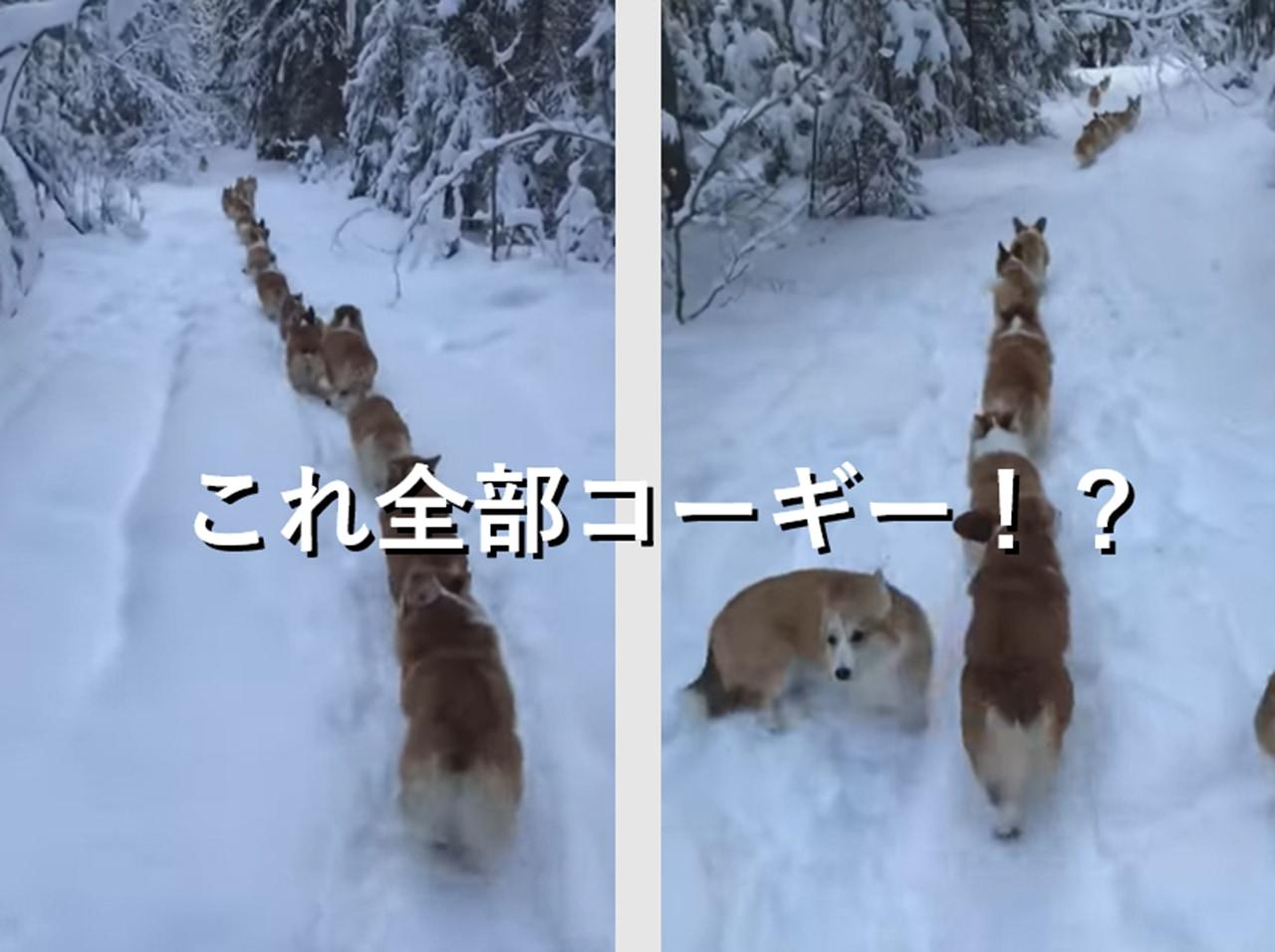 【眼福】雪の中を一列で移動するコーギーの子犬達が可愛すぎる