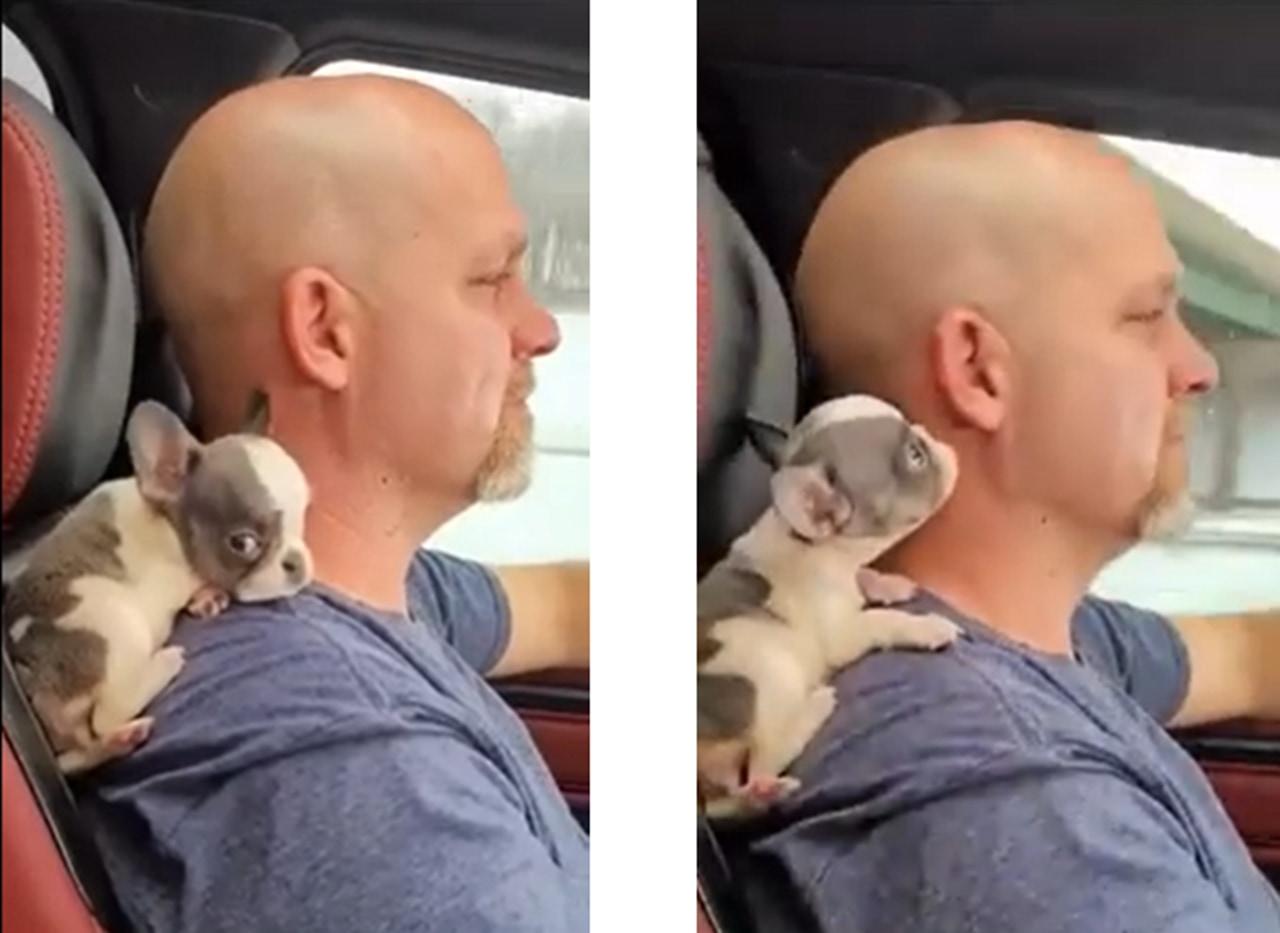 パパが大好き!お父さんの肩に乗ってドライブにでかけるフレンチブル可愛すぎる