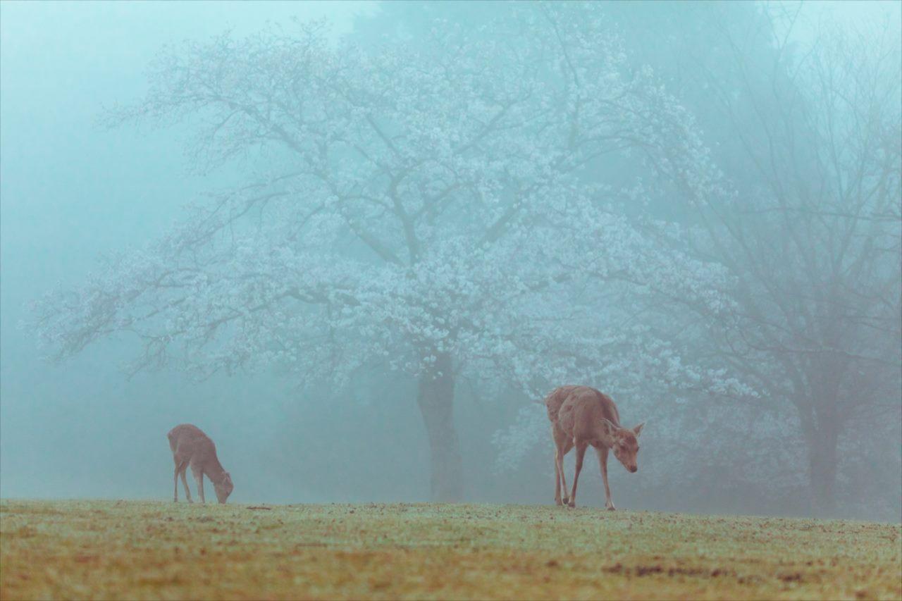 """桜が見頃になるタイミングで濃霧が発生!まるで""""絵本の世界""""のような光景が話題に!"""