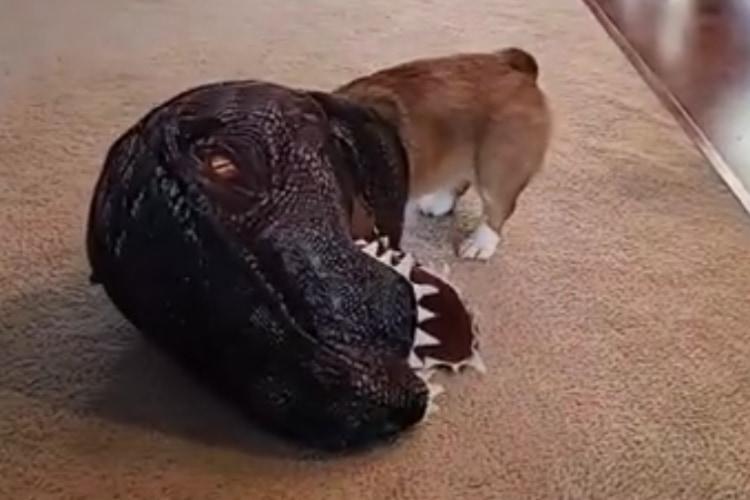 ティラノコーギー爆誕!飼い主の前で恐竜に扮装して遊ぶコーギーが最高にかわいい!