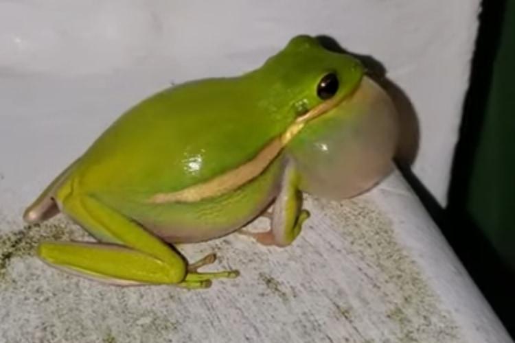 奇妙な音の正体はカエルだった!絵に描いたような鳴き姿とラッパみたいな個性的な声が可愛い!