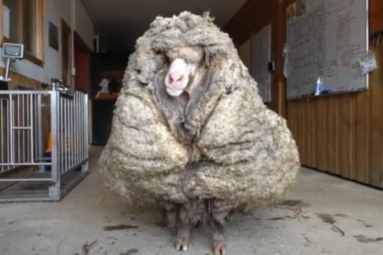 羊ってこんなになっちゃうの!?迷子の羊を保護して毛を刈ったら重さがなんと35キロも!!