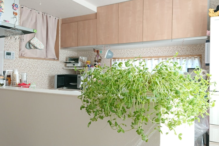 観葉植物が置いてあるお洒落なキッチンかと思いきや、実はこの緑‥伸びすぎたアレだった(笑)