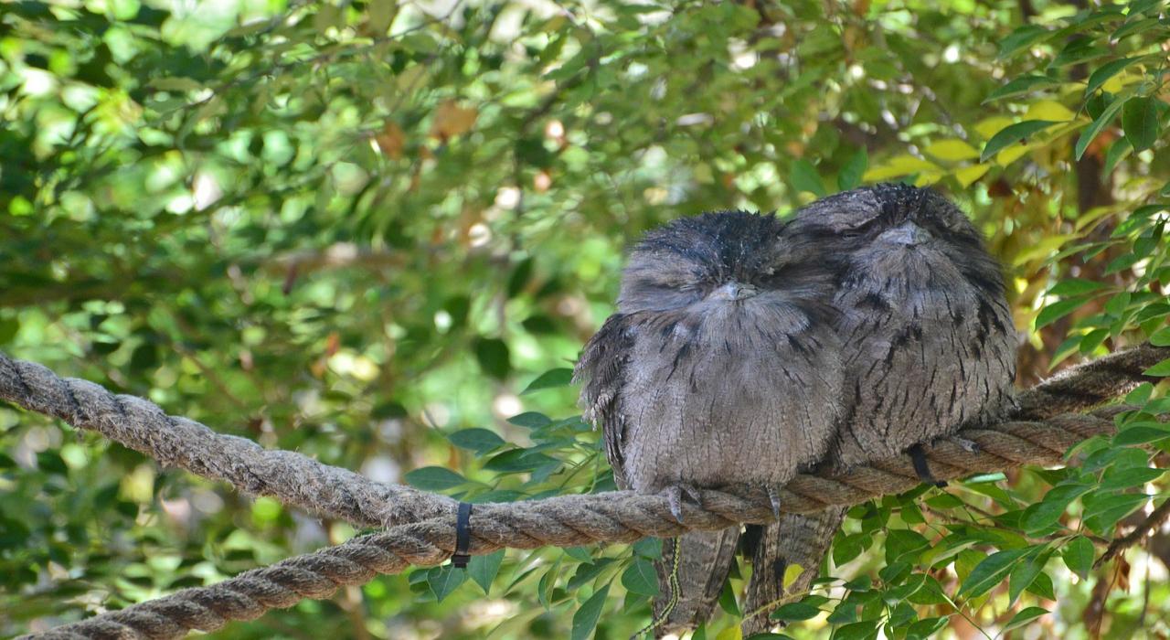 「ガマグチヨタカ」は、まるでフクロウみたいモフモフした鳥