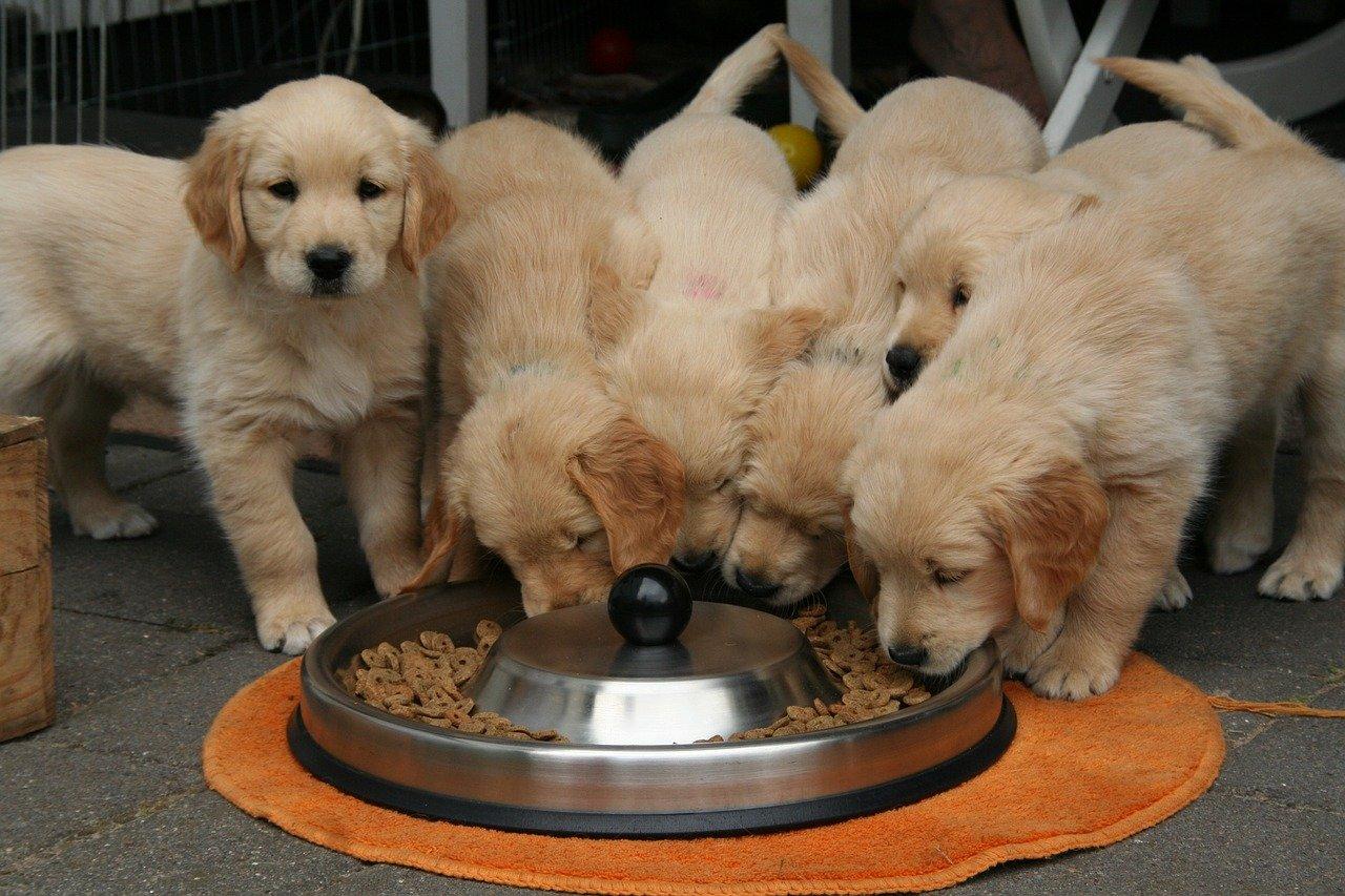 犬も子育ては大変...子犬に翻弄されるゴールデンレトリバーのパパが愛らしい