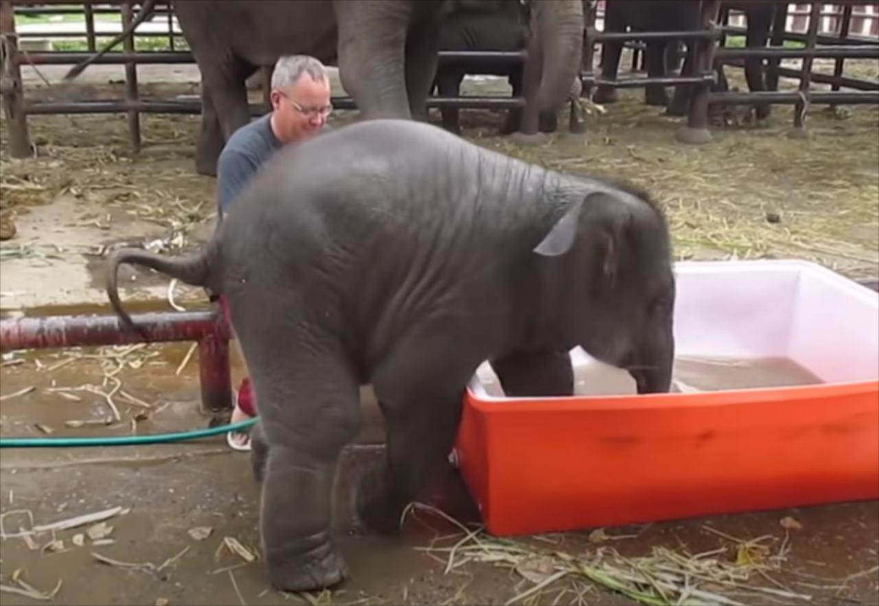 水風呂に入ろうとするも、毎回派手にずっこけるゾウの赤ちゃんが可愛すぎる(笑)