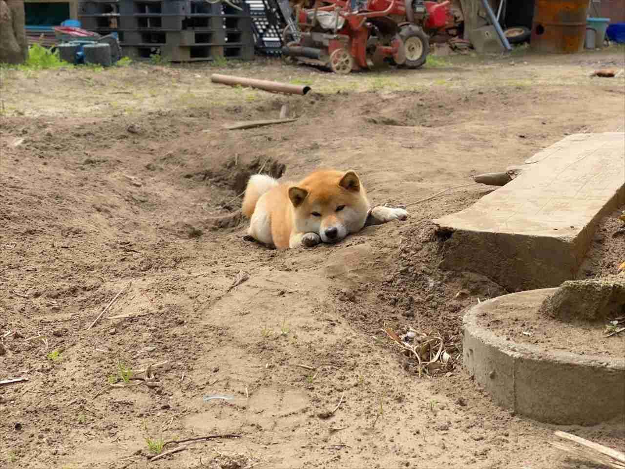 仕事へ行こうとしたら、柴犬のとある行動を見て盛大に足止めくらった(笑) 一体何をしていた!?