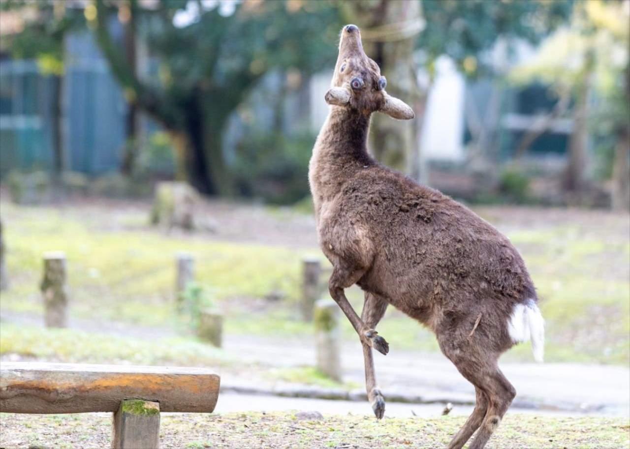 """【レアな瞬間】後ろ脚で立ち上がって""""何か""""を食べようとしている奈良公園のシカが話題に!"""