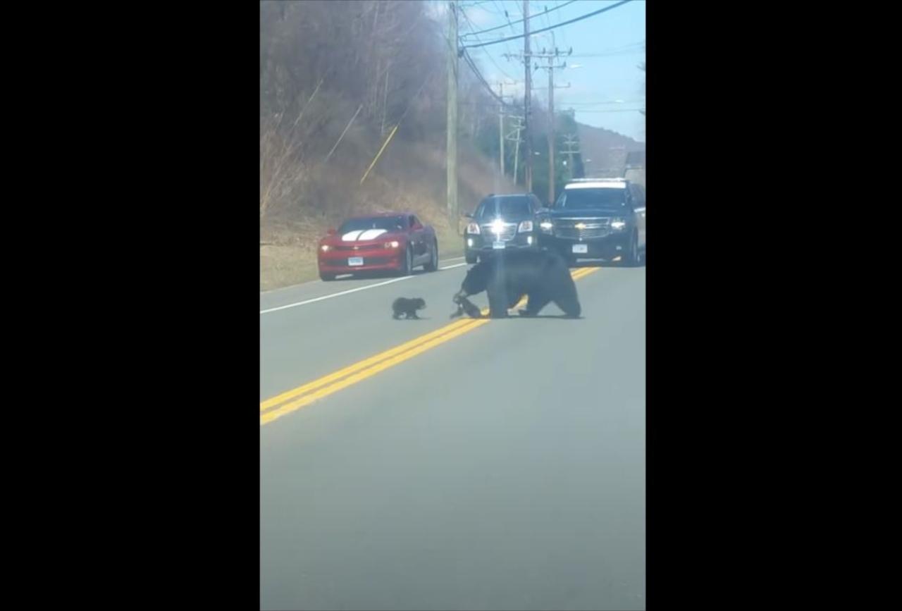 通行止めになっている理由にほっこり!母熊が子熊に手を焼いて右往左往していた(笑)