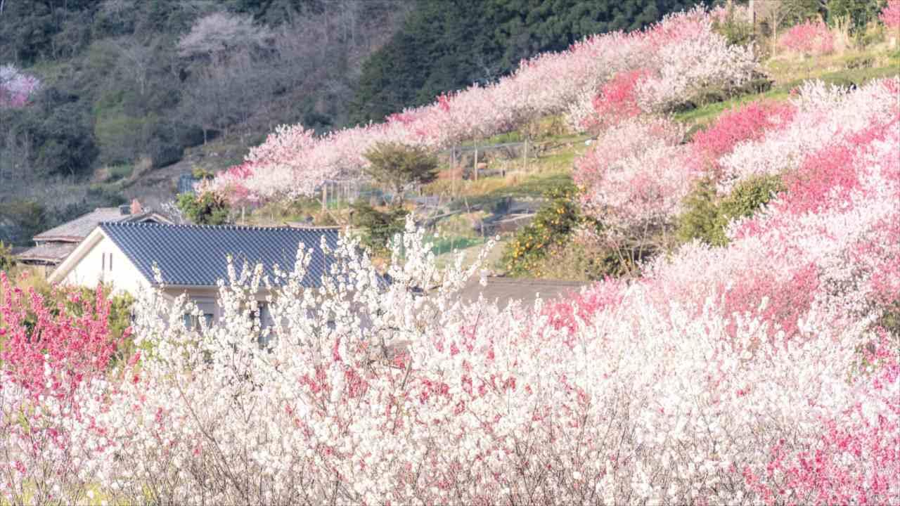まるで桃源郷のよう・・・谷あいの集落を埋め尽くす「花桃」が息をのむ美しさ