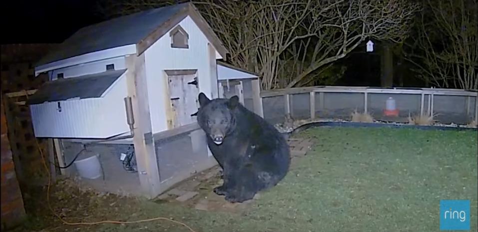 深夜の珍客・・・ニワトリ小屋を襲撃した巨大なクマを撃退したのはまさかの!!