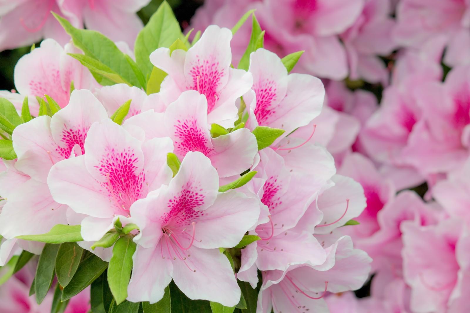 植木などにされる「つつじ」の花の甘い蜜・・・吸うと危険だったかも?!【みなさん子供の頃吸っていました?】