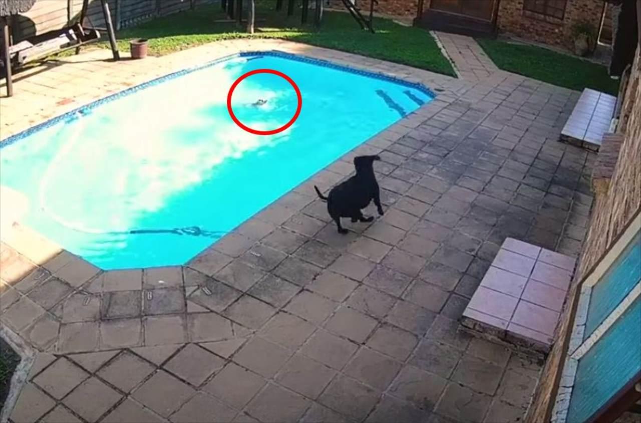 プールで溺れている親友を助けるため駆けつけたワンコ。34分にも及ぶ懸命の救出劇に感動!
