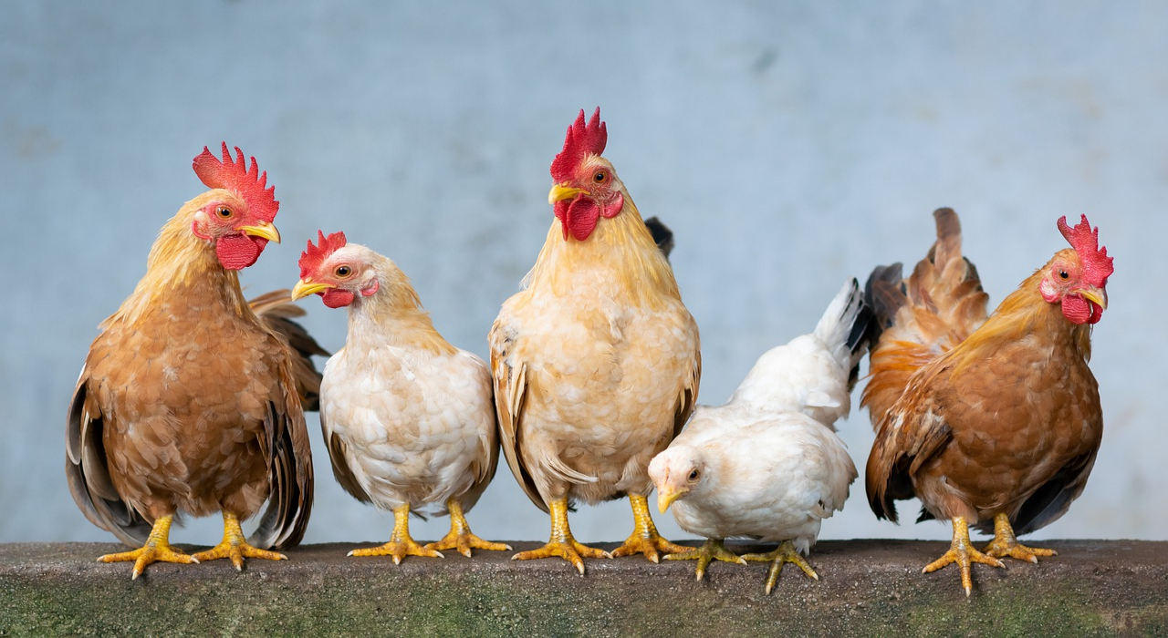 「鶏鳴狗盗」とはどういう意味?ニワトリがどう関係あるの?