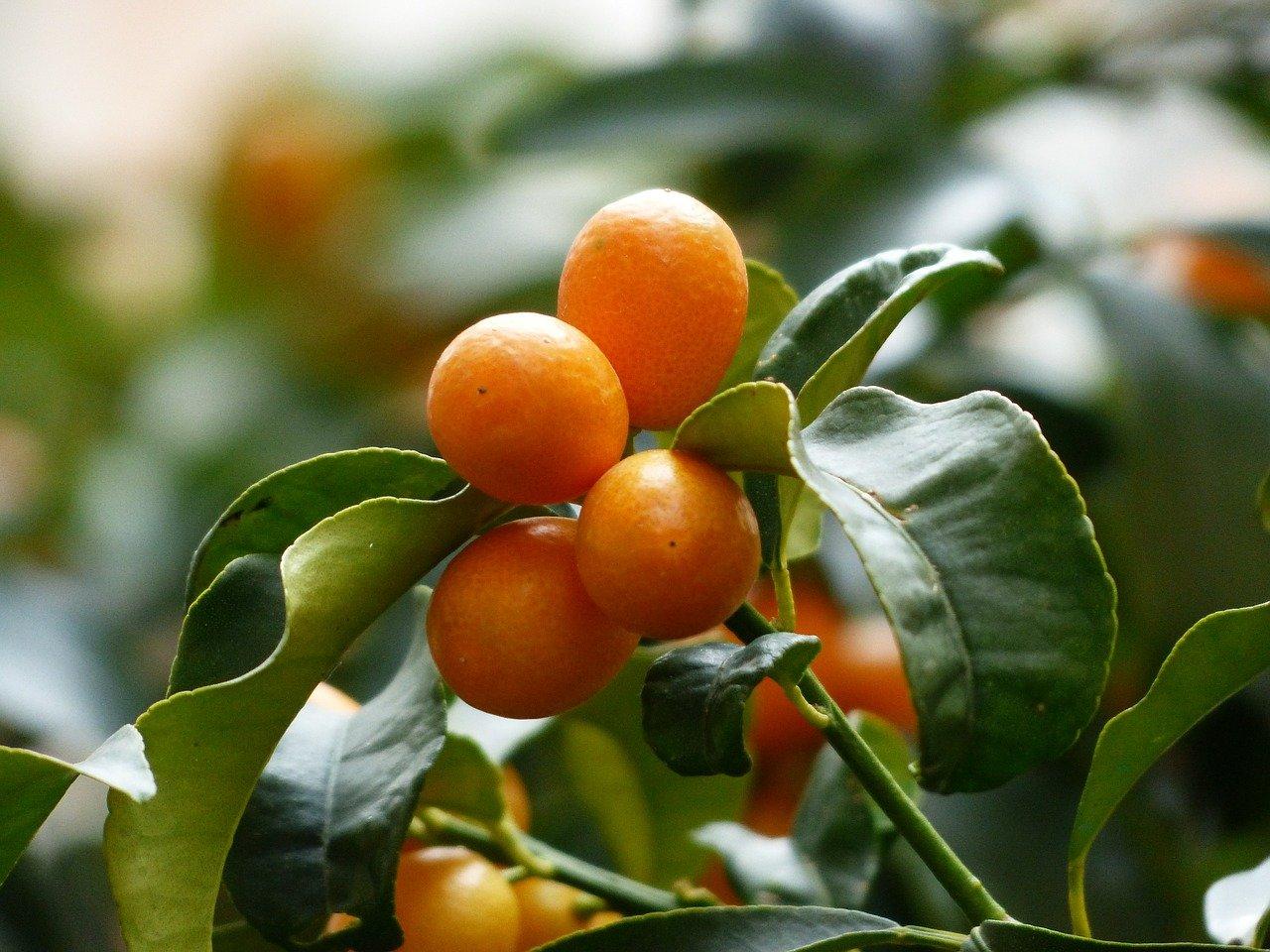 「金柑」の食べごろ・旬はいつ?もちろん柑橘類の仲間・・・とは言い切れない?