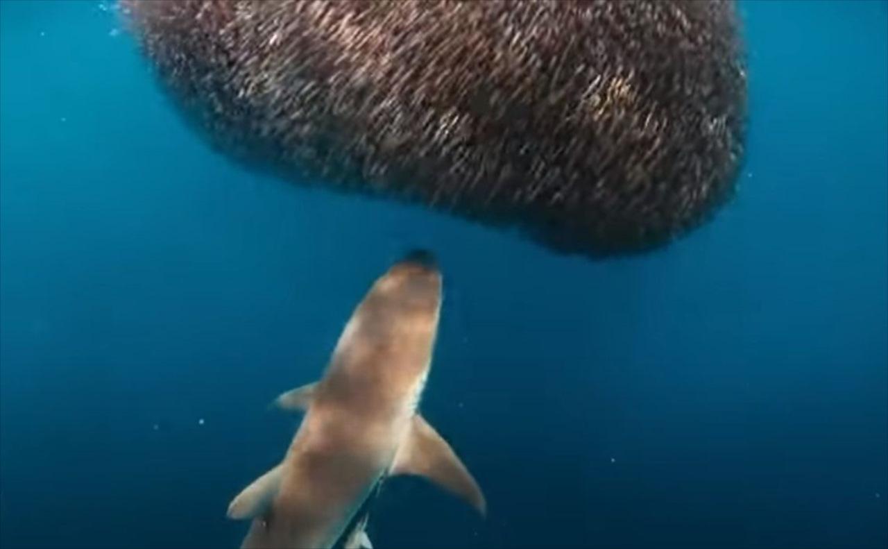 【不思議な映像】サメが魚の群れを襲うも、サメが逆に食べられたみたいに?!