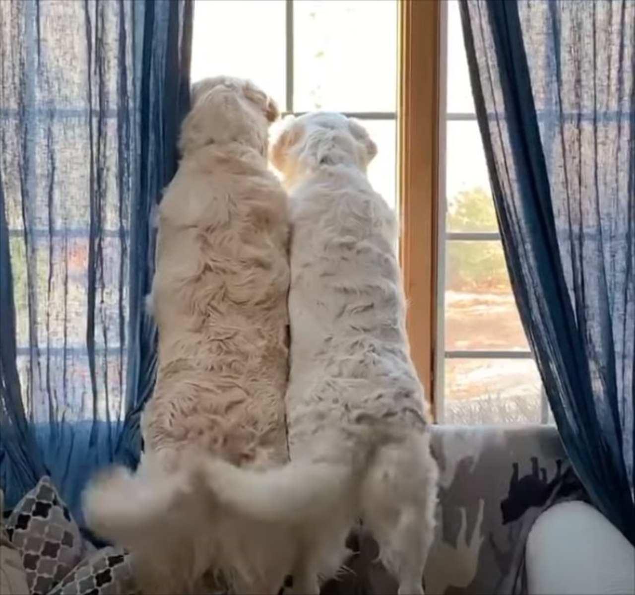 大好きな飼い主さんが帰宅して大興奮!そろって尻尾を振る姿が微笑ましい
