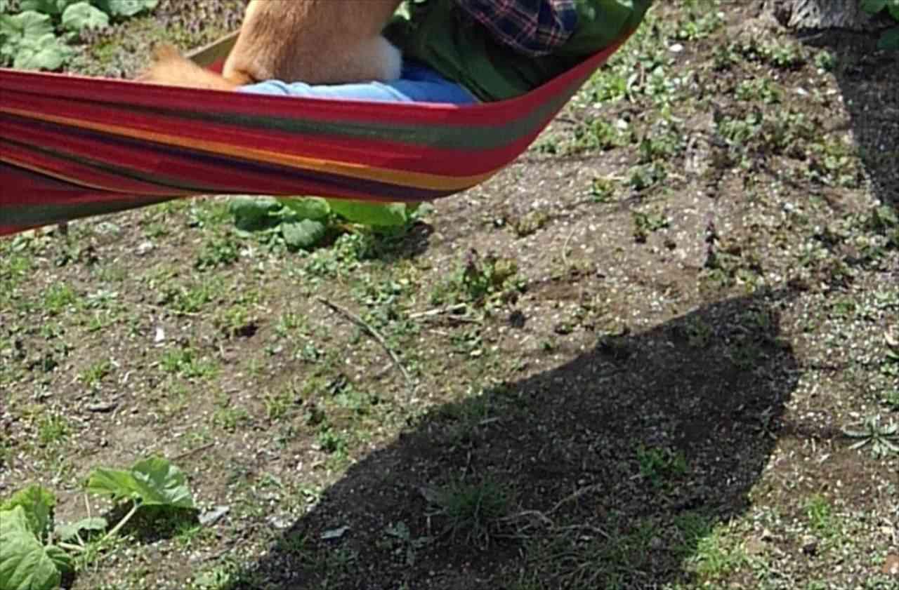 楽しいワン!ハンモックでばぁばと戯れる柴犬。その瞬間をとらえた1枚の写真にほっこり
